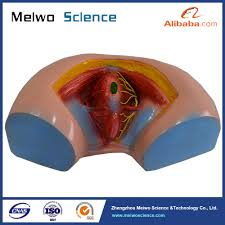 Perineum Anatomy Female Female Perineum Model Anatomy Model For Medical Teaching Buy