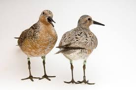 arctic warming is shrinking this adorable shorebird