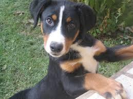 australian shepherd 8 wochen 26 best dogs images on pinterest animals swiss mountain dogs