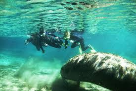 Florida snorkeling images Snorkeling with manatees at crystal river in florida jpg