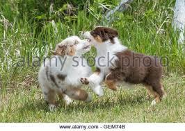 australian shepherd red tri australian shepherd puppies red merle and black tri playing