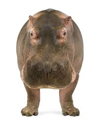 hippopotamus facts hippopotamus hippo facts and animal facts