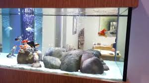 gold fish tank at aquarium design group in houston texas youtube