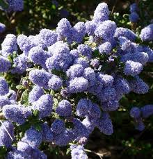 blue and purple flowers ceanothus celestial blue 4 jpg