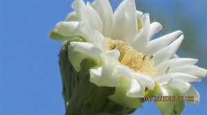 Flowers In Scottsdale Az - saguaro flower photos pictures of saguaro cactus flowers