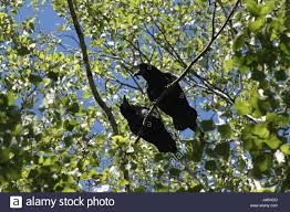 crows in a tree two crows on a branch high on a tree photo for