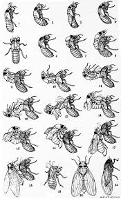 best 25 periodical cicadas ideas on pinterest bugs insect
