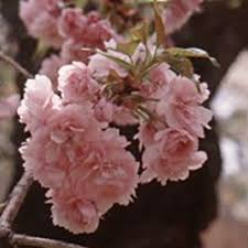 buy pink perfection flowering cherry tree free uk delivery