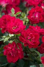 drift roses drift groundcover monrovia drift groundcover
