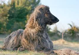 does an afghan hound shed how to keep an afghan hound u0027s hair from matting pets
