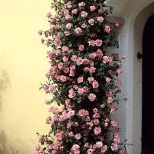 buy rose climbing zephirine drouhin rose j parkers