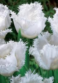 white honeymoon honeymoon bulbs tulips bulbs honeymoon buy tulips flower bulbs
