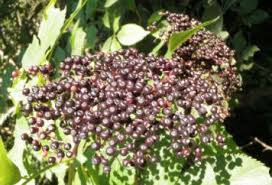 elderberries nebraska extension community environment