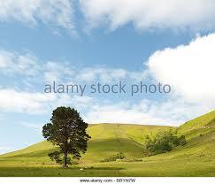 scots pine stock photos scots pine stock images alamy