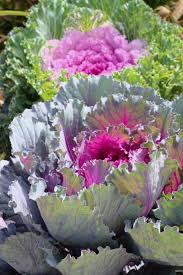 flowering kale growing conditions how to grow ornamental kale plants