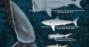 what is the biggest shark a chart shows the diversity of shark