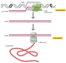 translation dna to mrna to protein learn science at scitable