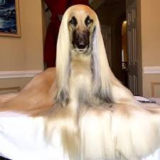 afghan hound hairstyles mucota dyna argan oil hair treatment with headlines hairdressing