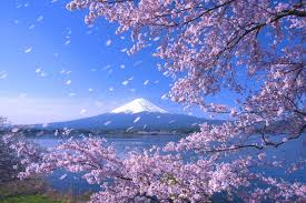 Flowers In Japanese Culture - what is cherry blossom why is the arrival of sakura so important