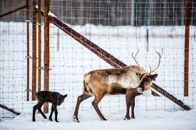 first reindeer calf an annual sign of spring at uaf uaf news and