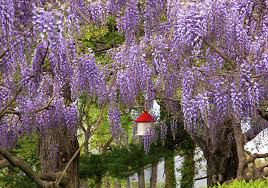 tree with purple flowers what are the purple flowered trees extension master gardener