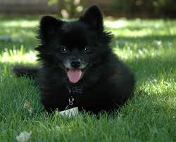 pomeranian temperament exercise and grooming
