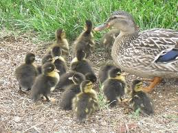 baby ducklings women living life after 50