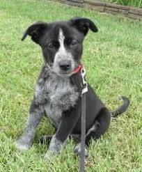 australian shepherd cattle dog mix australian cattle dog jack russell mix australian cattle dogs