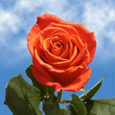 global roses orange roses for s day global