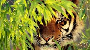 why is the considered king of the jungle when tigers nearly