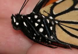monarch butterfly the backyard arthropod project