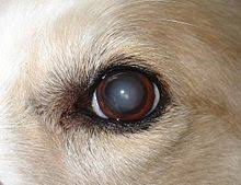 Pictures Of Blind Dogs Nuclear Sclerosis Wikipedia