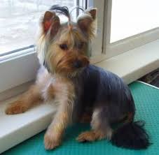 pictures of puppy haircuts for yorkie dogs yorkie haircuts for males and females 60 pictures yorkie life