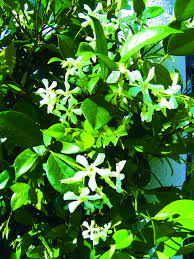 Fragrant Shade Plants - 11 best images about shade plants on pinterest gardens sweet