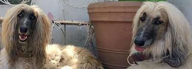 afghan hound least intelligent the 10 least obedient dog breeds u2014watch out