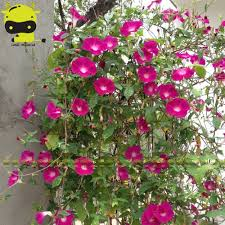 online buy wholesale climbing roses red from china climbing roses