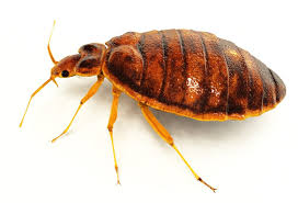 What Does Bed Bugs Look Like Bed Bugs