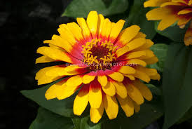 Yellow Flower - yellow flowers stock photos images plant flower stock