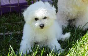 poodle y bichon frise puppies california bichons