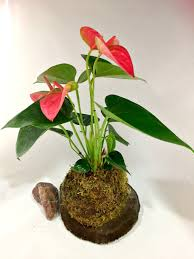 rare tropical anthurium plant red pink white mixed flower a