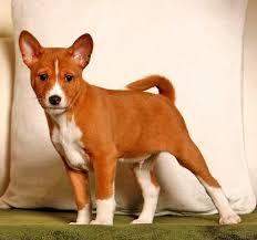 australian shepherd odor seven dog breeds that wont stink up your house pethelpful