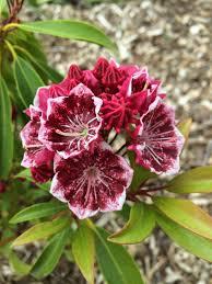 kalmia latifolia kalmia latifolia u0027kaleidoscope u0027 real life garden solutions