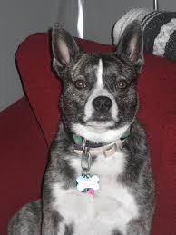 american eskimo dog tattoo d 37 boskimo american eskimo dog u0026 boston terrier designer