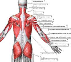 Shoulder And Arm Muscles Anatomy Pop Anatomy Adam Muscles 2