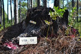 tree stumps from tyndall air base reveal history