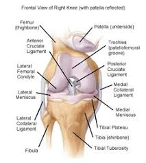 Knee Anatomy Pics Human Anatomy Diagram Diagram Important Human Knee Anatomy Human