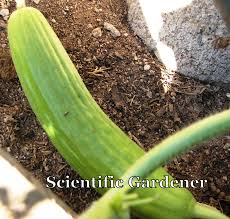 the scientific gardener the armenian cucumber