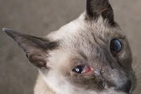 Blind Dog Eye Discharge Cat Eye Infection Home Remedies Causes And Pictures Dogs Cats