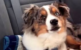movies with australian shepherds in them video watch dog sings frozen u0027s let it go telegraph
