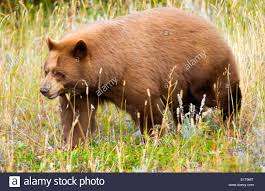 cinnamon black bear colour variation typical